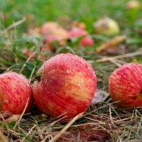 А диких яблок  тут никто не собирает... :: Андрей Заломленков