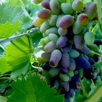 Урожай винограда :: Татьяна Королёва