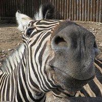 Улыбчивая зебра! :: Ирина Олехнович