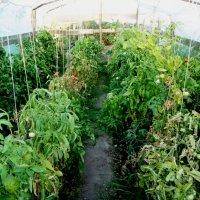 Теплица с помидорами :: Татьяна Королёва