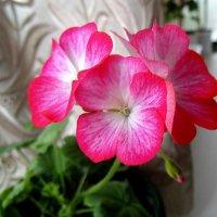 Розовая герань .( Пеларгония ) :: Мила Бовкун