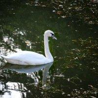 Белый лебедь на пруду..... :: Геннадий Оробей