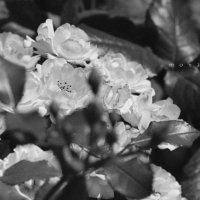Монастырские розы :: Виктор | Индеец Острие Бревна