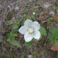 нежные цветы лесные :: tgtyjdrf
