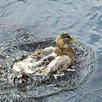 Как с утки вода :: Дмитрий Ерохин
