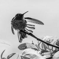 colibri :: Olga Udo