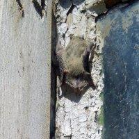 Летучая мышь :: Татьяна Королёва