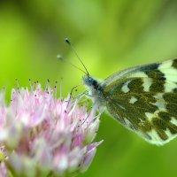 Butterfly :: Олег Шендерюк