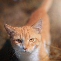 Кот с янтарными глазами :: Елена Дорогина