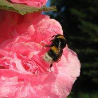 красавец шмель на шток-розе :: linnud