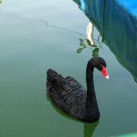 В парке чёрный лебедь... :: Тамара (st.tamara)
