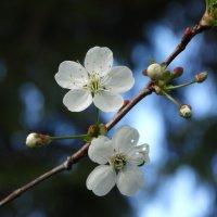 Веточка вишни :: Светлана Лысенко