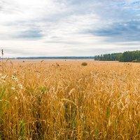 ...поле - русское поле... :: Олег Каплун