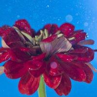 цветок и дождь :: Алексей Жариков