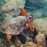 Критская черепаха - 30 кг. :: Борис Иванов