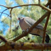 вяхирь :: linnud