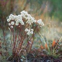 Цветы в тундре :: Оксана Червинская