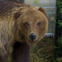 Медведь :: Вера Аксёнова
