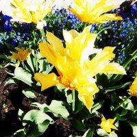 Тюльпаны и незабудки :: татьяна