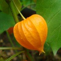 Осенний фонарик :: марина ковшова