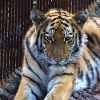 Сын не безызвестного уссурийского тигра по кличке Амур :: Евгений Поварёнков