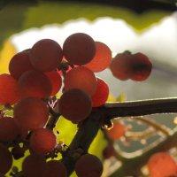 Солнечные ягоды :: Юрий Гайворонский