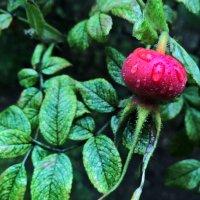 Сочная ягода шиповника :: Forrest