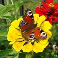 Бабочка прилетела :: °•●Елена●•° ♀