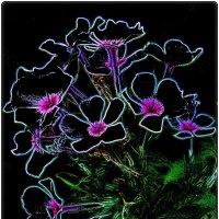 Трогательные цветы флокса :: Нина Корешкова