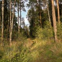 вечер в лесу :: Андрей