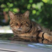 Соседский кот :: Татьяна Панчешная