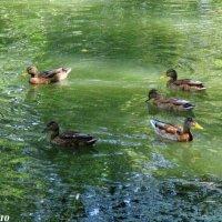 Речка Темерник и утки :: Нина Бутко