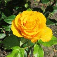 Жёлтая роза :: Дмитрий Никитин