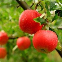 сентябрьские яблоки :: Илья Скупой