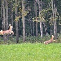 Мощный прыжок! :: Геннадий Ячменев
