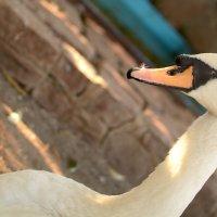 Лебедь в зоопарке :: Александра nb911 Ватутина