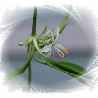 Цветочек хлорофитума. :: Наталья Соколова