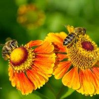 Пчёлы на гелениуме :: Александр Синдерёв