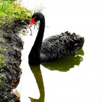 Черный лебедь :: Александр Сансар
