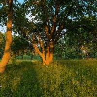 Пейзаж с дубами :: Александр Синдерёв