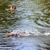 Состязание в скоростном плавании. :: Валентина ツ ღ✿ღ