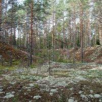 Сосны в лесу :: Дарья :)