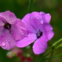 Двое под дождём :: Татьяна Соловьева