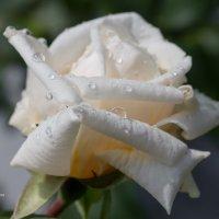 Белая роза после дождя :: Александр Синдерёв