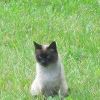Сиамская кошка :: Дмитрий Никитин
