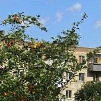 Высоко на дереве яблоки созрели, солнышком напитаны спелые бока... :: Татьяна Смоляниченко