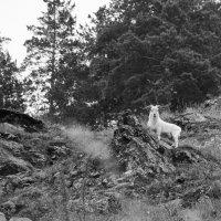 горный козел :: Ульяна Danilova