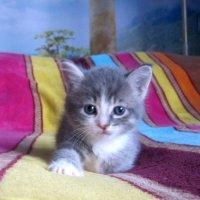 Я - маленькая кошечка... Мне пять недель пока... Позирую немножечко.. За миску молока)) :: ЛЮБОВЬ ВОРОЖБИТ