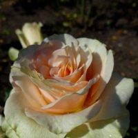 Сентябрьская роза :: Елена Кадиева