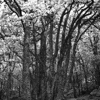 Заколдованный лес. :: Андрий Майковский
